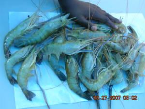 Strawberry Creek Shrimp Farm
